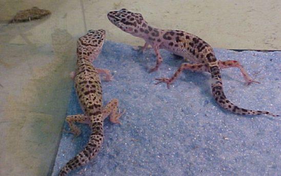 geckoblue